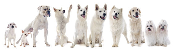 White dogs Royalty Free Stock Images