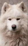 White dogs Royalty Free Stock Image