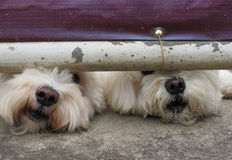 2 white dogs. Sneak under the fence Stock Photography