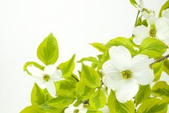 White Dogwood Background Stock Photos
