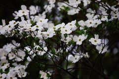 White dogwood Royalty Free Stock Photos
