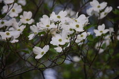 White dogwood Stock Image