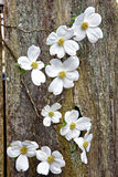 White Dogwood blooms on fence Stock Image