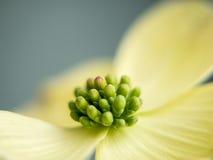 White Dogwood Blossom Closeup Stock Photo