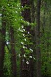 White Dogwood Blossom Royalty Free Stock Photos