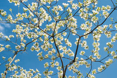 White Dogwood Blossoms against a Blue Sky Royalty Free Stock Photo