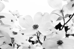 White Dogwood Blossoms Stock Photo