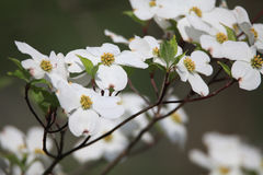 White Dogwood Blossoms Royalty Free Stock Photos