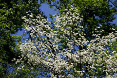 White Dogwood & Blue Sky. White Dogwood against background of spring green trees and blue sky Royalty Free Stock Image