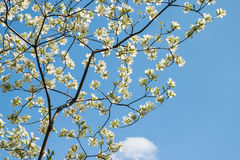 White Dogwood Branches with Blue Sky Stock Photos