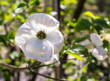 White Dogwood Cornus Florida in Spring, Closeup of flower. stock image