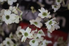 White dogwood flower branches. Blooming dogwood florals stock photography