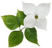 White dogwood flower Stock Images
