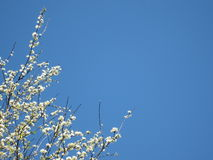 White Dogwood Flowers and Blue Sky Background Royalty Free Stock Photography
