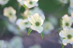 White dogwood petals in the spring months in Yakima, Washington, Pacific Northwest stock photography