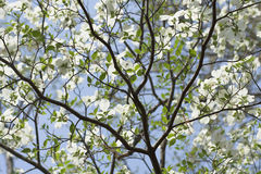 White Dogwood Tree Royalty Free Stock Image
