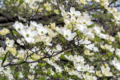 White Dogwood tree or Cornus florida. Stock Images