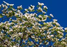White Dogwood tree Cornus Florida in full bloom in springtime. Flowering Dogwood Stock Photo