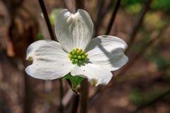 White Dogwood Tree Flower Stock Photography