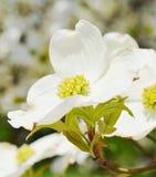 White dogwood tree flowers. Closeup White dogwood tree flowers blooming Stock Photography