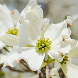 White dogwood tree flowers. Closeup White dogwood tree flowers blooming Royalty Free Stock Images