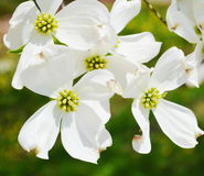White dogwood tree flowers. Closeup White dogwood tree flowers blooming Royalty Free Stock Photography