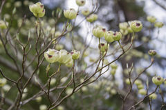 White Dogwood Tree Flowers Just Starting to Open Royalty Free Stock Photo