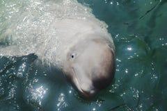 White dolphin beluga Stock Image