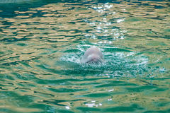 White dolphin at dolphinarium Royalty Free Stock Photography