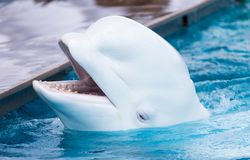 White dolphin in the pool. In the park in nature Royalty Free Stock Images