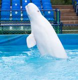 White dolphin in the pool. In the park in nature Stock Image