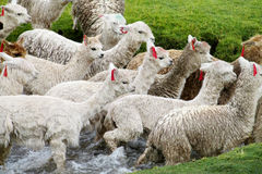 White domestic alpacas crossing river royalty free stock photo