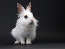 White domestic baby-rabbit Stock Image