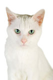 White domestic cat Stock Photo