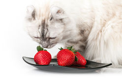 White domestic cat eats strawberry Stock Images