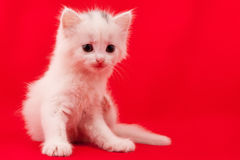 White domestic cat Stock Photography