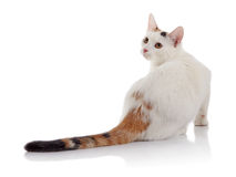 White domestic cat with a multi-colored striped tail. On a white background Royalty Free Stock Image