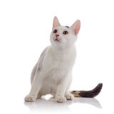 White domestic cat with a multi-colored striped tail Royalty Free Stock Images