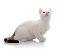White domestic cat with a multi-colored tail looks up Royalty Free Stock Image
