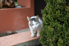 White domestic cat outdoor. She is looking straight beside the big bush royalty free stock photography