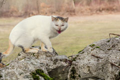 White domestic cat  standing on the rocks in the woods scared Stock Photo