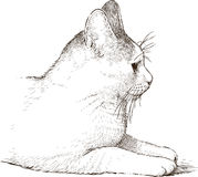 White domestic cat Royalty Free Stock Photography