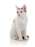White domestic cat with yellow eyes Royalty Free Stock Photography
