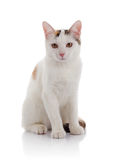 The white domestic cat with yellow eyes Stock Image