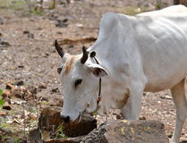 White  Cow. White Domestic Cow Eating Grass Royalty Free Stock Photo