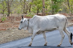 White Cow India. White Domestic Cow Crossing the Road Royalty Free Stock Photo