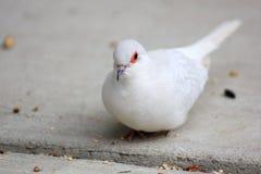 White domestic Diamond Dove Stock Images