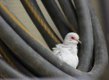 White domestic Diamond Dove Stock Image