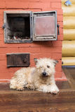 White domestic dog warms himself Royalty Free Stock Image
