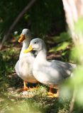 White domestic duck Stock Photography